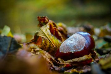 autumn chestnut nature