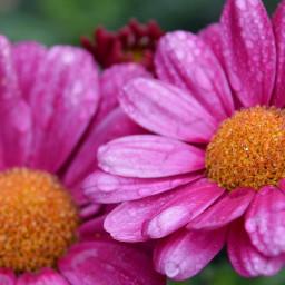 flowers dropsofrain pinkflower nature colorsofnature pcpurple