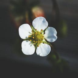 bokeh freetoedit flower colorful nature