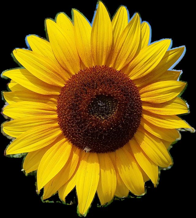 #FreeToEdit  #ftestickers #flower #sunflower