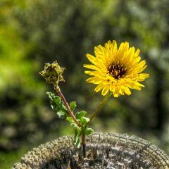 primavera flores flowers spring yellow freetoedit
