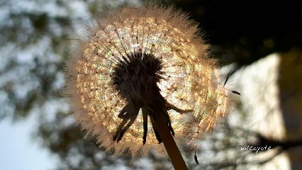 flower dendalion natural nature springtime